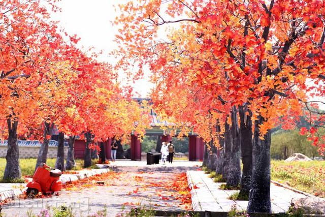 Ngỡ ngàng với con đường phong lá đỏ ở Hà Nội - Ảnh 12.