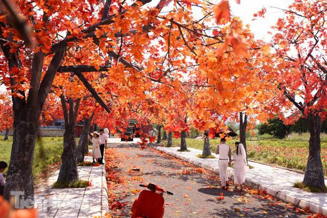 Ngỡ ngàng với con đường phong lá đỏ ở Hà Nội - Ảnh 3.