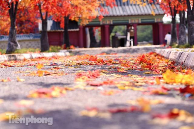 Ngỡ ngàng với con đường phong lá đỏ ở Hà Nội - Ảnh 4.