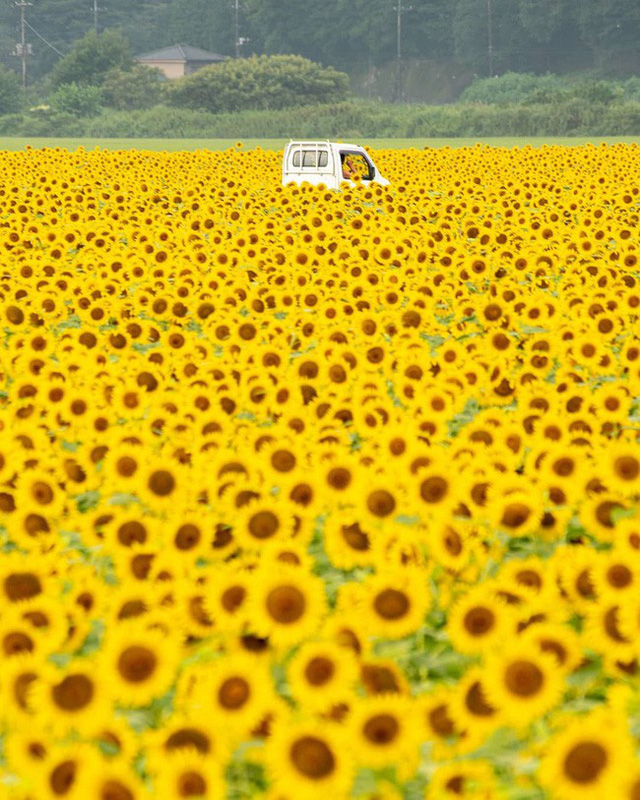 """""""Choáng váng"""" với cánh đồng hoa hướng dương triệu bông đẹp như bức tranh khổng lồ vào mùa thu ở Nhật Bản - Ảnh 1."""