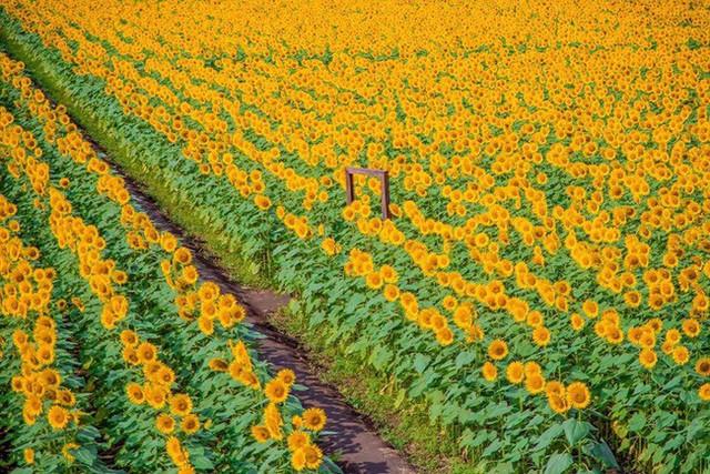 """""""Choáng váng"""" với cánh đồng hoa hướng dương triệu bông đẹp như bức tranh khổng lồ vào mùa thu ở Nhật Bản - Ảnh 13."""