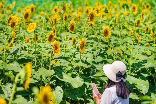 """""""Choáng váng"""" với cánh đồng hoa hướng dương triệu bông đẹp như bức tranh khổng lồ vào mùa thu ở Nhật Bản - Ảnh 3."""