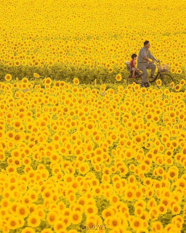 """""""Choáng váng"""" với cánh đồng hoa hướng dương triệu bông đẹp như bức tranh khổng lồ vào mùa thu ở Nhật Bản - Ảnh 4."""