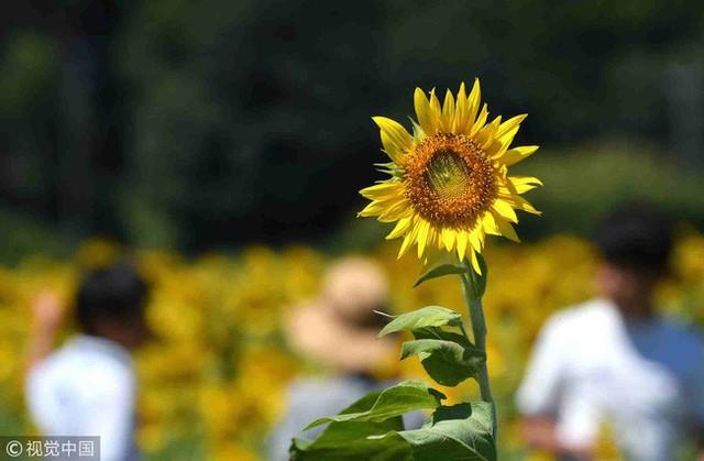 """""""Choáng váng"""" với cánh đồng hoa hướng dương triệu bông đẹp như bức tranh khổng lồ vào mùa thu ở Nhật Bản - Ảnh 6."""