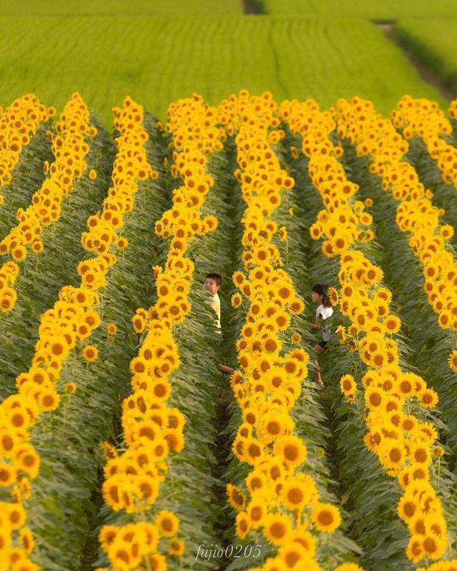 """""""Choáng váng"""" với cánh đồng hoa hướng dương triệu bông đẹp như bức tranh khổng lồ vào mùa thu ở Nhật Bản - Ảnh 7."""