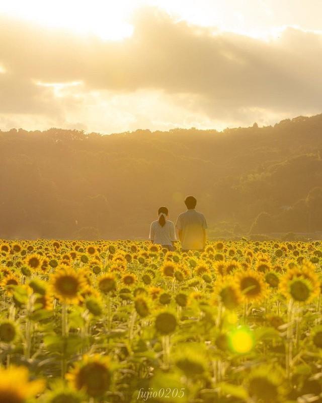 """""""Choáng váng"""" với cánh đồng hoa hướng dương triệu bông đẹp như bức tranh khổng lồ vào mùa thu ở Nhật Bản - Ảnh 8."""