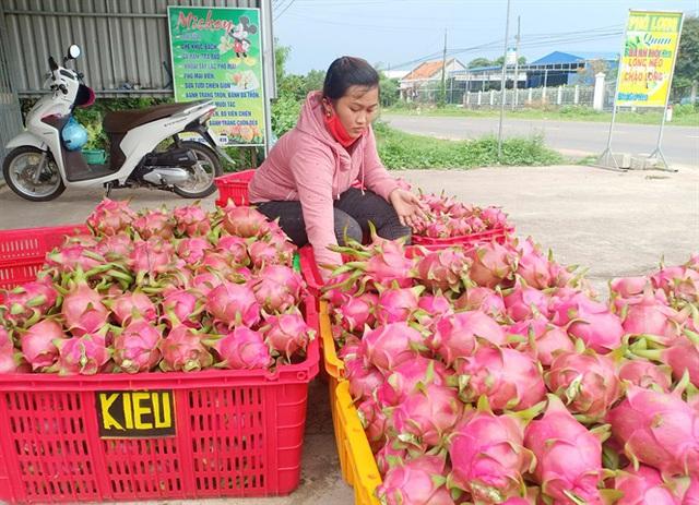 Bình Thuận: Giá thanh long dịp tết ở mức thấp, nông dân buồn lo - Ảnh 1.