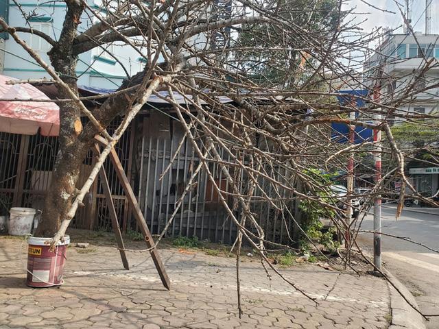 Vượt 300km về Hà Nội, đào rừng không lá không hoa hét giá khó tin gần 200 triệu đồng - Ảnh 2.