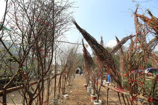 Vượt 300km về Hà Nội, đào rừng không lá không hoa hét giá khó tin gần 200 triệu đồng - Ảnh 7.