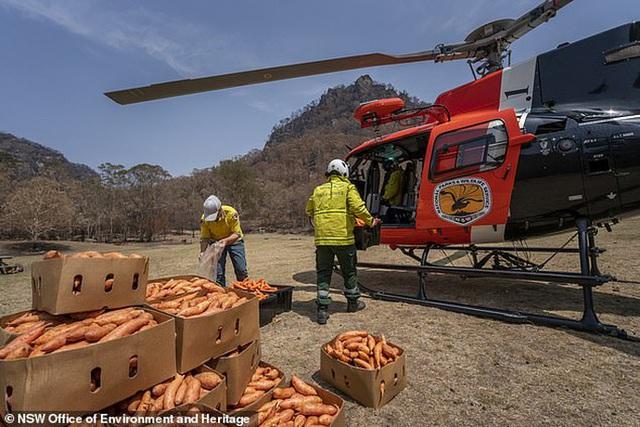 Úc: Mưa cà rốt và khoai lang cứu đói động vật bị cháy rừng  - Ảnh 3.