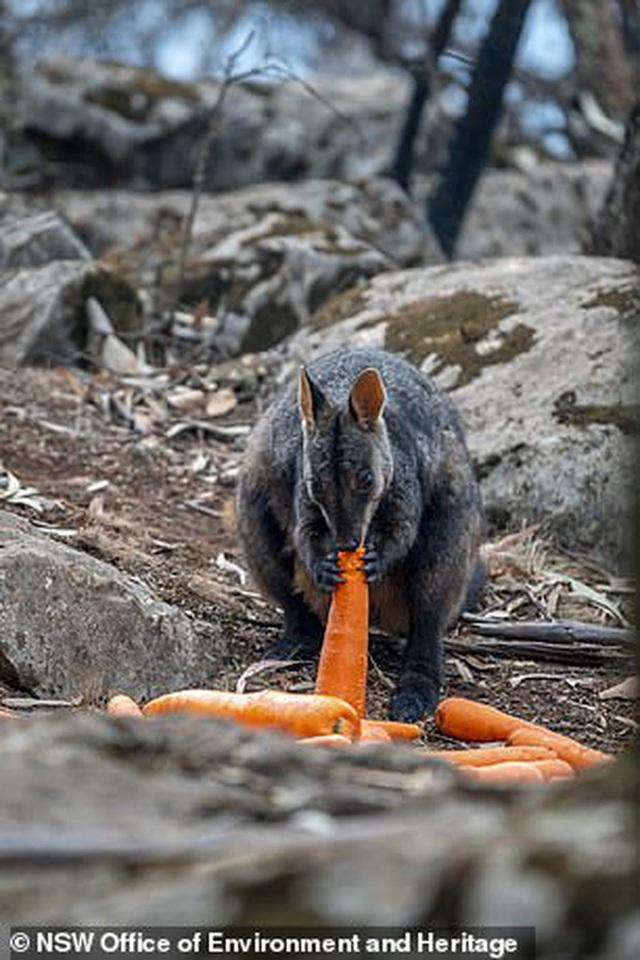 Úc: Mưa cà rốt và khoai lang cứu đói động vật bị cháy rừng  - Ảnh 4.
