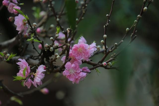 Dân buôn nhấp nhổm sợ mất Tết vì đào cảnh nở gần hết hoa, dài cổ chờ khách - Ảnh 4.