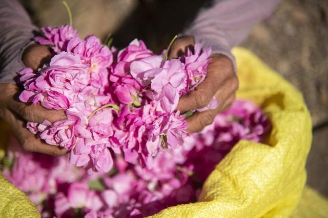 Câu chuyện về những bông hồng thơm nhất thế giới của Iran: Cả một thị trấn toàn hoa hồng, người dân làm một tháng là đủ tiền tiêu cả năm không hết - Ảnh 7.