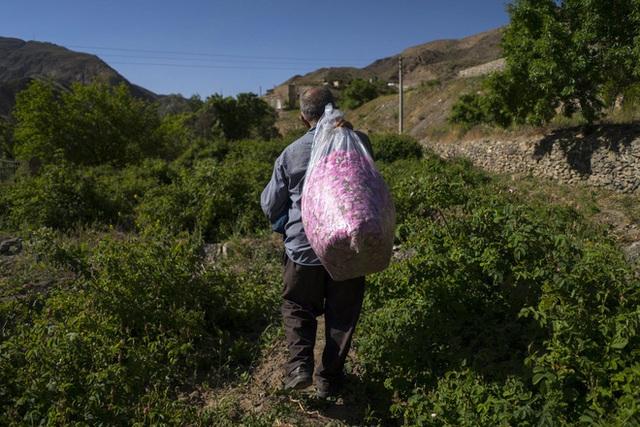 Câu chuyện về những bông hồng thơm nhất thế giới của Iran: Cả một thị trấn toàn hoa hồng, người dân làm một tháng là đủ tiền tiêu cả năm không hết - Ảnh 8.