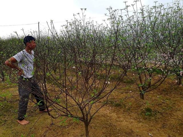 Hà Tĩnh: Đào Tết nở rộ, người trồng thiệt hại hàng trăm triệu đồng - Ảnh 1.