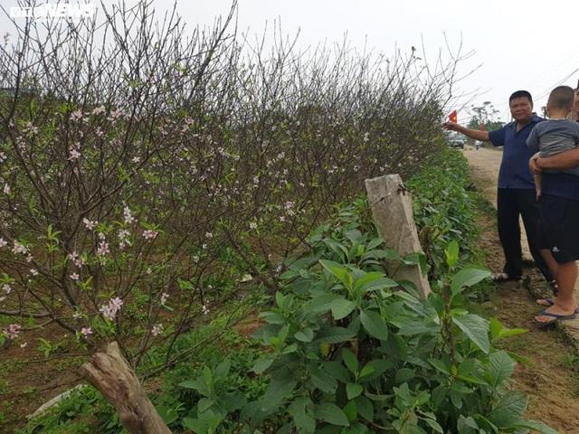 Hà Tĩnh: Đào Tết nở rộ, người trồng thiệt hại hàng trăm triệu đồng - Ảnh 2.