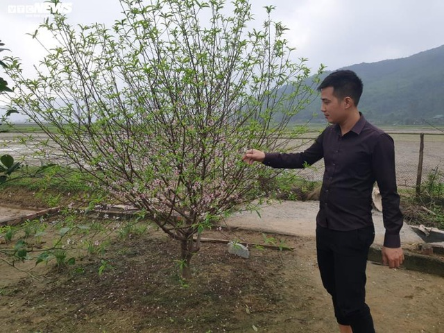 Hà Tĩnh: Đào Tết nở rộ, người trồng thiệt hại hàng trăm triệu đồng - Ảnh 3.