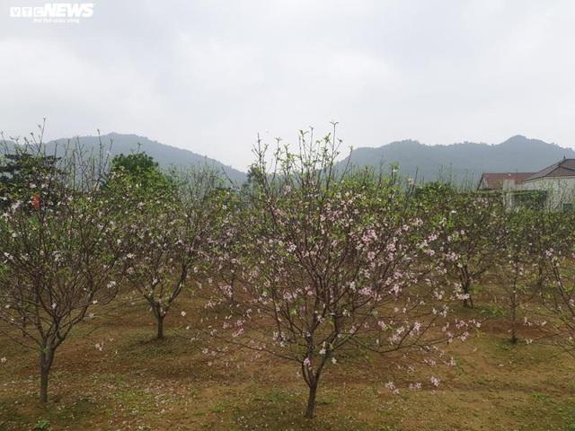 Hà Tĩnh: Đào Tết nở rộ, người trồng thiệt hại hàng trăm triệu đồng - Ảnh 4.