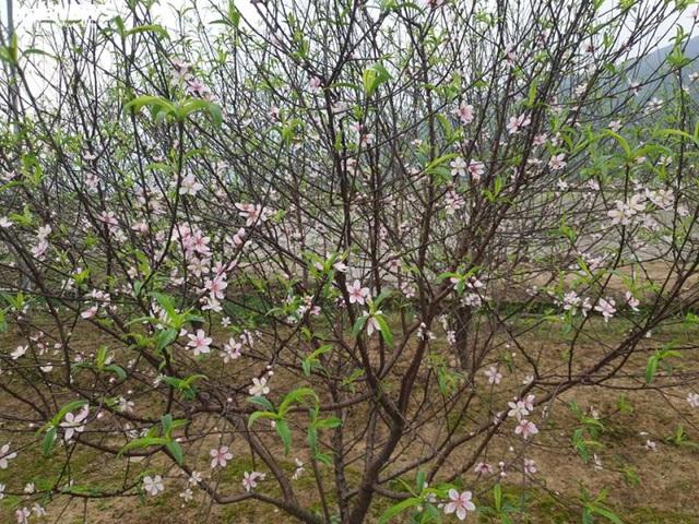 Hà Tĩnh: Đào Tết nở rộ, người trồng thiệt hại hàng trăm triệu đồng - Ảnh 6.