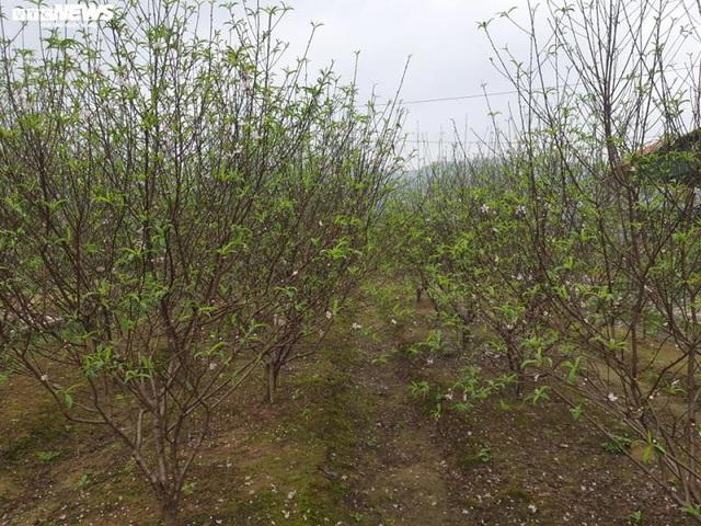 Hà Tĩnh: Đào Tết nở rộ, người trồng thiệt hại hàng trăm triệu đồng - Ảnh 7.