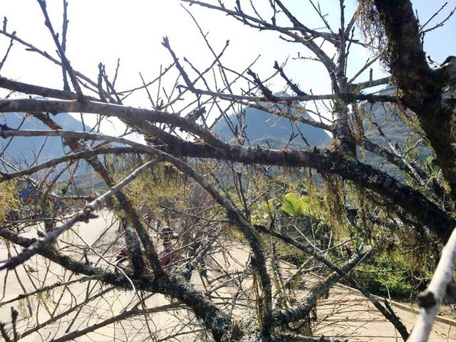 Lên Lai Châu săn đào rừng, bán liền tay lãi ngay trăm triệu - Ảnh 8.
