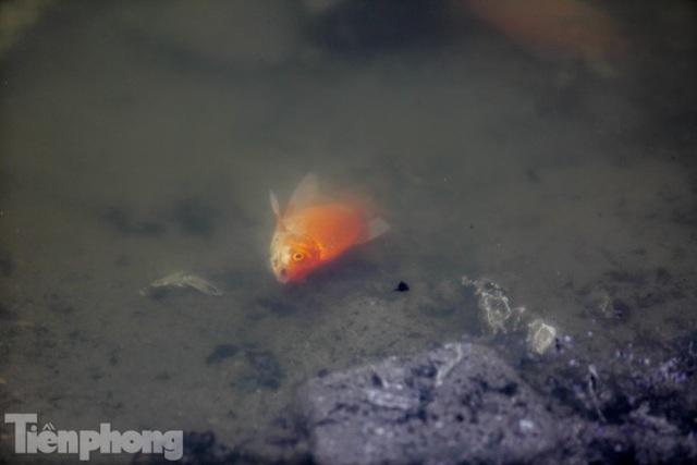 Cá chép vàng tiễn ông Táo vừa thả đã chết nổi ở hồ Hoàng Cầu - Ảnh 12.
