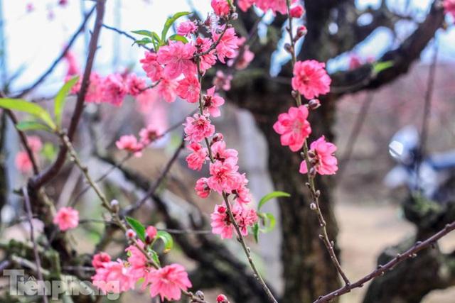 Đào bung nở sớm, người dân Nhật Tân thấp thỏm lo trắng tay - Ảnh 4.
