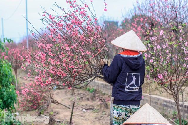 Đào bung nở sớm, người dân Nhật Tân thấp thỏm lo trắng tay - Ảnh 7.