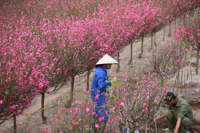 Xót xa vựa đào Nhật Tân nở hoa đỏ rực trước Tết, người dân ngậm ngùi hái bỏ cả nghìn bông - Ảnh 12.