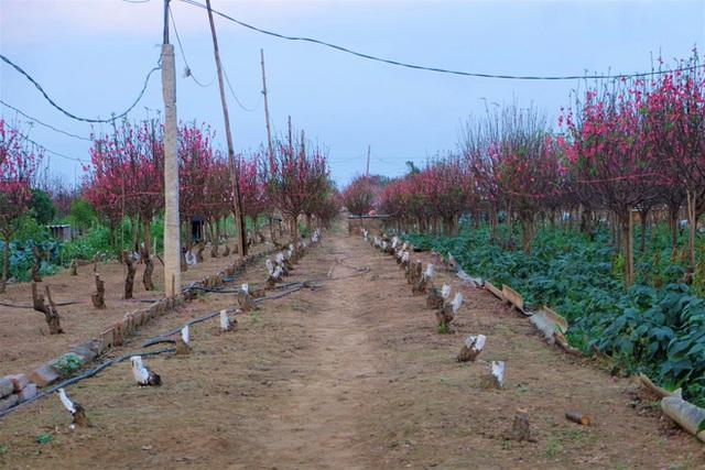 Xót xa vựa đào Nhật Tân nở hoa đỏ rực trước Tết, người dân ngậm ngùi hái bỏ cả nghìn bông - Ảnh 14.