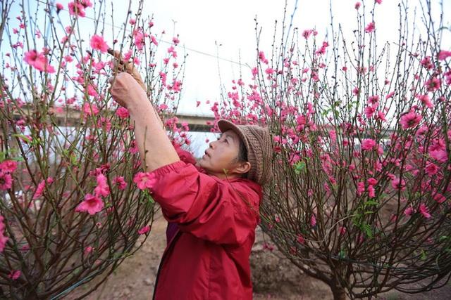 Xót xa vựa đào Nhật Tân nở hoa đỏ rực trước Tết, người dân ngậm ngùi hái bỏ cả nghìn bông - Ảnh 3.