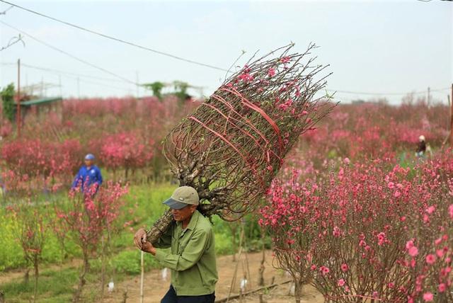 Xót xa vựa đào Nhật Tân nở hoa đỏ rực trước Tết, người dân ngậm ngùi hái bỏ cả nghìn bông - Ảnh 8.