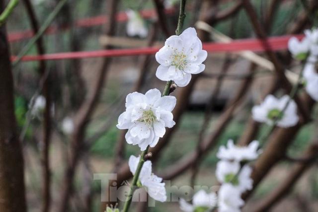Đào cánh trắng hiếm có bạc triệu xuất hiện ở Nhật Tân - Ảnh 3.