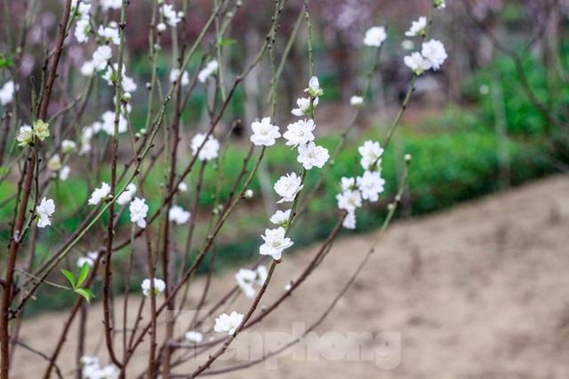 Đào cánh trắng hiếm có bạc triệu xuất hiện ở Nhật Tân - Ảnh 6.