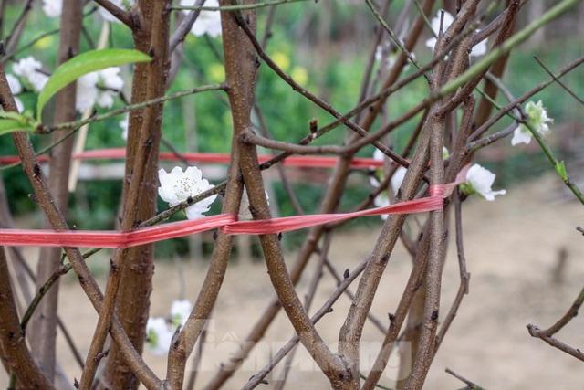 Đào cánh trắng hiếm có bạc triệu xuất hiện ở Nhật Tân - Ảnh 7.