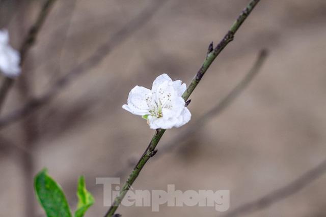 Đào cánh trắng hiếm có bạc triệu xuất hiện ở Nhật Tân - Ảnh 9.