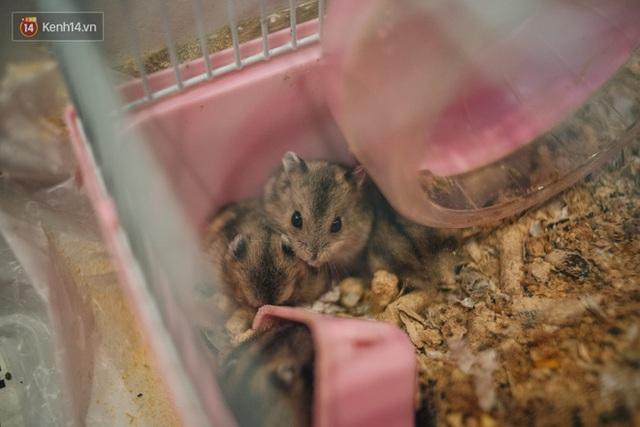 Năm Canh Tý, người trẻ tìm mua chuột hamster để giảm stress và cầu chúc may mắn  - Ảnh 12.