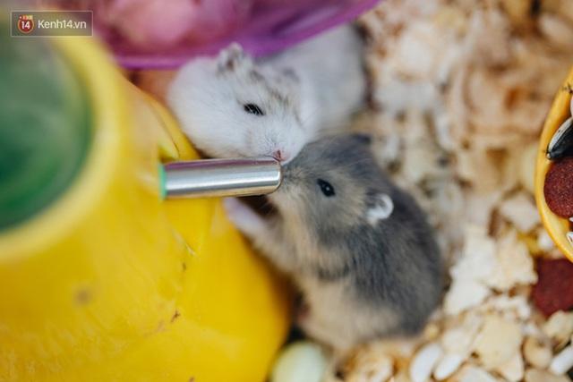 Năm Canh Tý, người trẻ tìm mua chuột hamster để giảm stress và cầu chúc may mắn  - Ảnh 9.