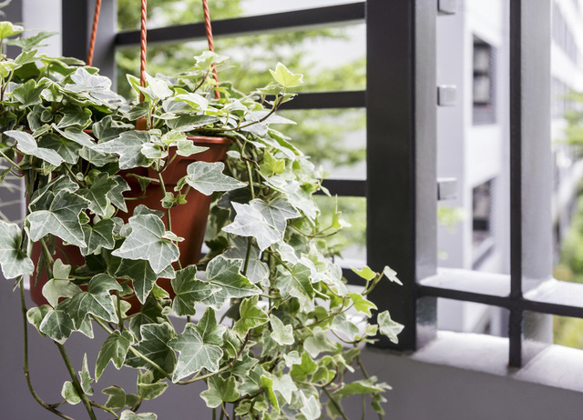 Không chỉ mang ý nghĩa phong thủy, trang trí căn phòng, những các loại cây dưới đây còn giúp cho lọc sạch không khí, cải thiện sức khỏe - Ảnh 6.