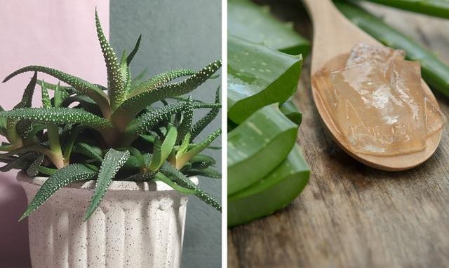 Không chỉ mang ý nghĩa phong thủy, trang trí căn phòng, những các loại cây dưới đây còn giúp lọc sạch chưa khí, cải thiện sức khỏe - Ảnh 8.