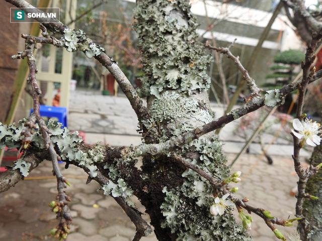 Chán đào quất, người Hà Nội săn tìm mơ rừng cổ thụ giá hơn 12 triệu đồng - Ảnh 5.