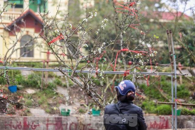 Hoa lê rừng tiền triệu hút khách Thủ đô sau Tết - Ảnh 12.