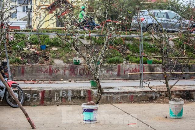 Hoa lê rừng tiền triệu hút khách Thủ đô sau Tết - Ảnh 6.