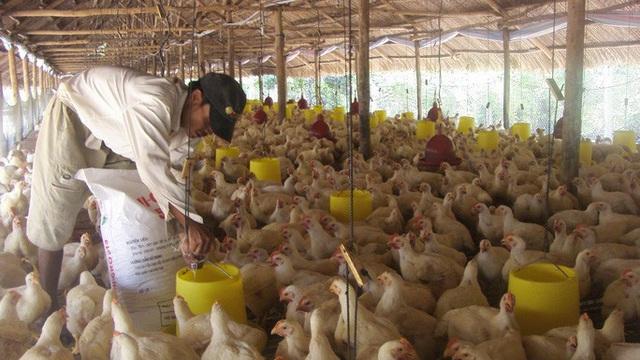 Giá thịt gà rớt thảm hại, thấp hơn giá rau muống - Ảnh 2.
