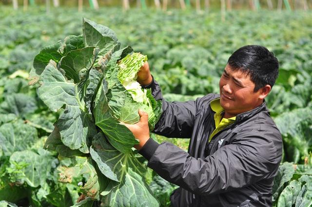 Bắp cải giá 1.000đồng/bắp, nông dân định băm nhỏ ủ làm phân - Ảnh 1.