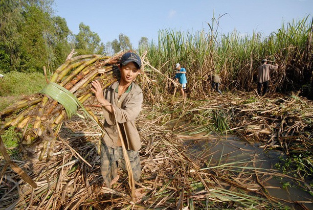 Mía đường lại kêu khó, Bộ Tài chính siết xuất khẩu đường nguồn gốc nước ngoài  - Ảnh 1.