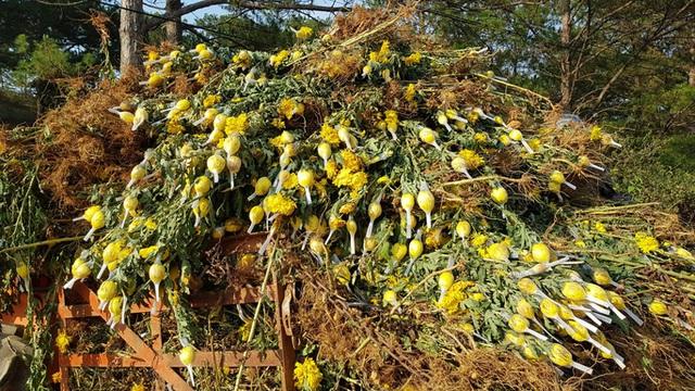 Nông dân Đà Lạt xót xa nhổ bỏ cả cánh đồng hoa cúc vì bán chẳng ai mua - Ảnh 2.