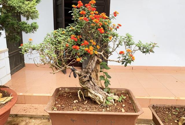 Nhiều loài hoa dại thành bon sai trăm triệu ở Đà Lạt - Ảnh 3.