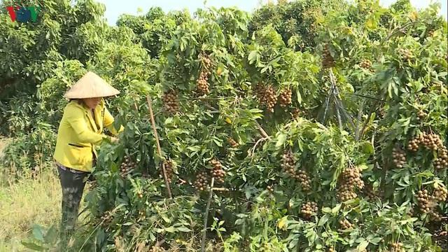 Lãi hơn tỷ đồng mỗi năm nhờ trồng nhãn trên đất cằn - Ảnh 1.