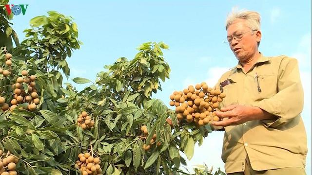 Lãi hơn tỷ đồng mỗi năm nhờ trồng nhãn trên đất cằn - Ảnh 2.